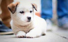 教狗狗叭下怎么训练?狗狗训练技巧分享