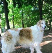 苏俄牧羊犬好养吗?多少钱一只?