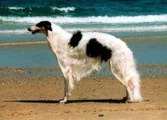 苏俄牧羊犬为什么禁养