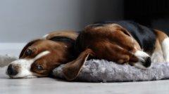 犬瘟热初期症状及有效预防方法