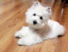 如何挑选一条优质西部高地白梗幼犬