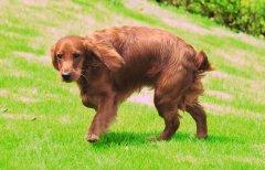英国可卡猎鹬犬