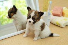 挑选一条优质的幼犬需要注