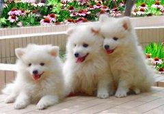 银狐犬智商排第几?饲养银狐犬的人多吗