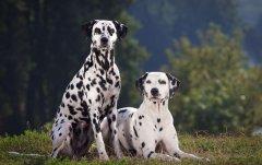国际畜犬联盟FCI犬种分类