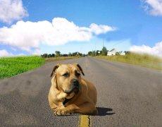 狗狗害怕来往车辆怎么办?狗狗怕过马路