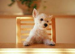 狗狗总是上桌子怎么办?