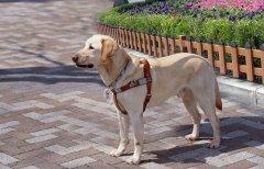 拉布拉多犬身上有异味怎么办?