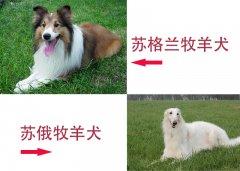 苏俄牧羊犬和苏格兰牧羊犬的区别