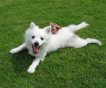 日本狐狸犬的智商,日本狐狸犬聪明吗