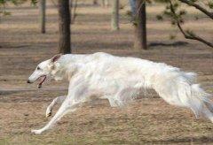 苏俄牧羊犬比狼更快,7秒53轻松打败飞人博尔特