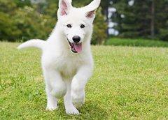 银狐犬怎么配种,银