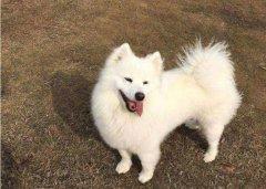 银狐犬喜欢啃咬东西怎么办