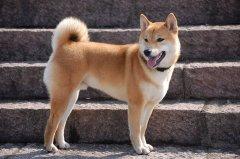 合肥拟禁养中华田园犬,苏俄牧羊犬等名犬在列