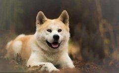 给秋田犬幼犬洗澡的6条注意
