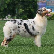 澳大利亚牧羊犬