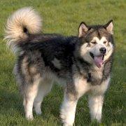 阿拉斯加雪撬犬