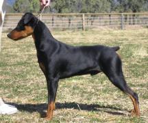 德国平犬,德国宾沙犬