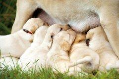 小狗什么时间断奶和断奶方法