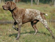 狗狗得了皮炎怎么办?