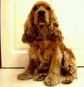 狗狗刷理美容的正确