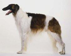 苏俄牧羊犬